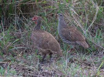 Swainson's and his mate the Natal Spurfowl - nice to see the comparison