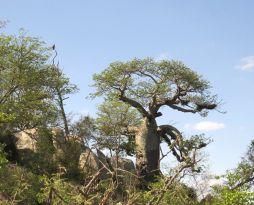 Tawny Eagle overlooking the Baobab