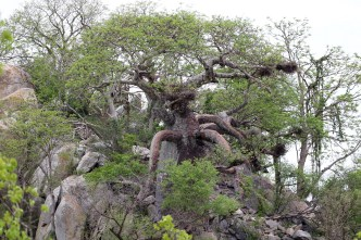 What a Baobab - like a Preying Mantis