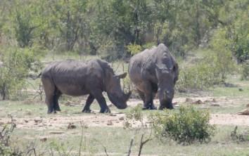 White Rhinos on their way to cajole the buffalos