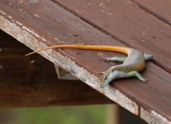 Yellow-tailed Lizard
