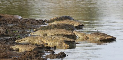 A bank of crocodiles