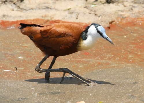 African Jacana and toes