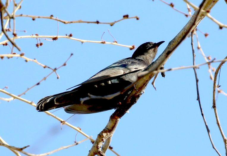 Black Cuckoo at Crooks Corner