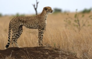 Cheetah and cub - spot the cub
