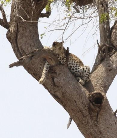 Leopard - full and sleepy