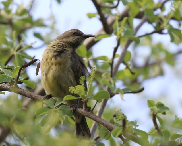 Marico Sunbird female