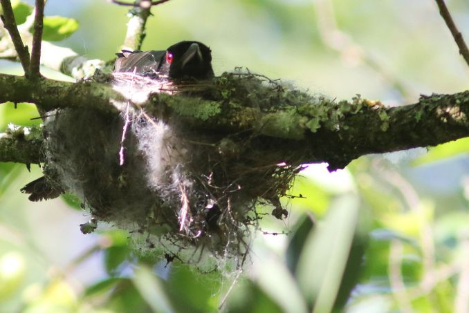 Fork-tailed Drongo on nest- David Swanepoel