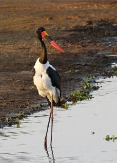 Saddle-billed Stork male