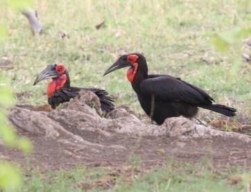 Southern Ground-Hornbill 1 and 2 of 3