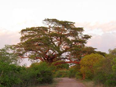 Tree early am Mahonie Loop