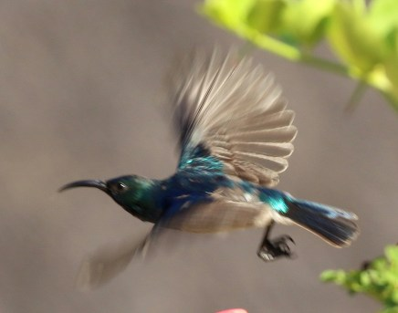 White-bellied Sunbird in flight