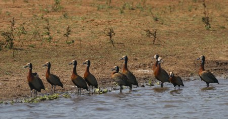 White-faced Whistling Ducks all in a row