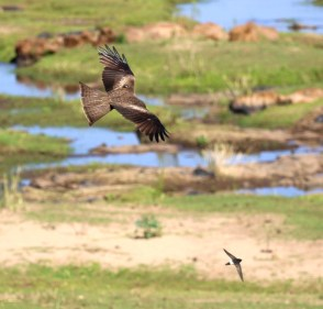 Yellow-billed Kite and Little Swift