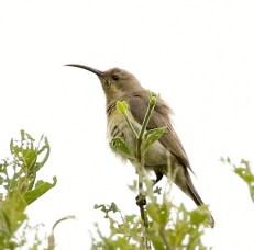 Malachite Sunbird - female