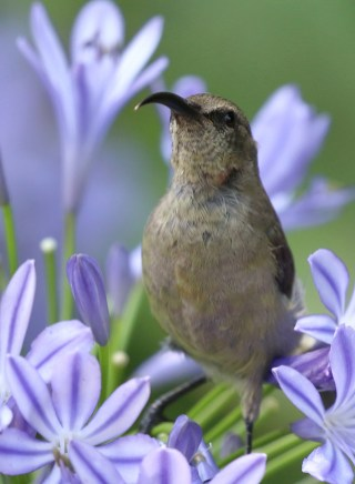 Greater Double-collared Sunbird - female