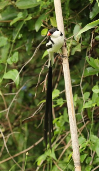 Pin-tailed Whydah chasing the females with no success it seemed