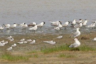 Mixed Terns