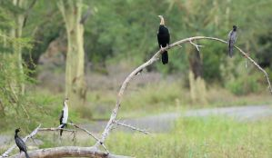 Reed Cormorants and African Darter