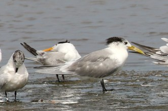 Sandwich, Lesser Crested and Swift Terns