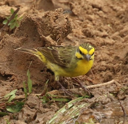 Yellow-fronted Canry