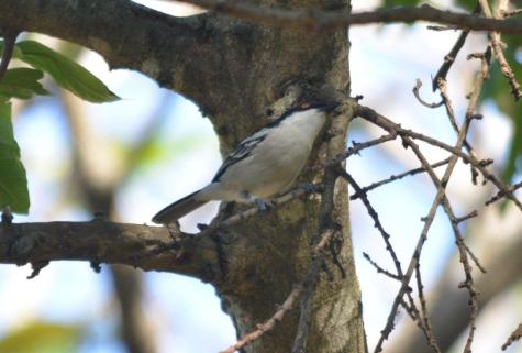 Black-backed Puffback- Mike
