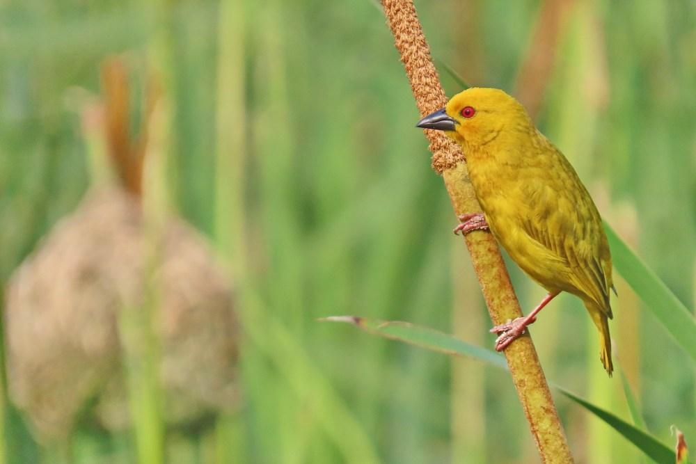 Eastern Golden Weaver ( E.J Bartlett)