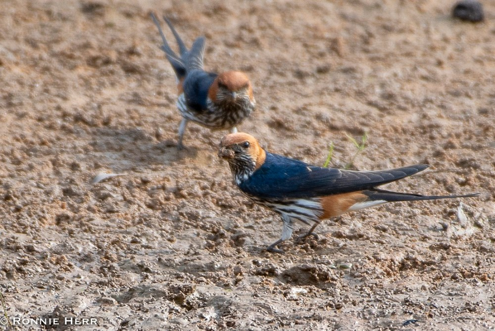 Lesser Striped Swallow (Ronnie Herr)