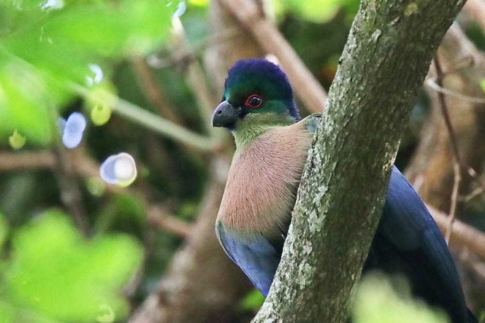 Purple-Crested Turaco ( E.J Bartlett)