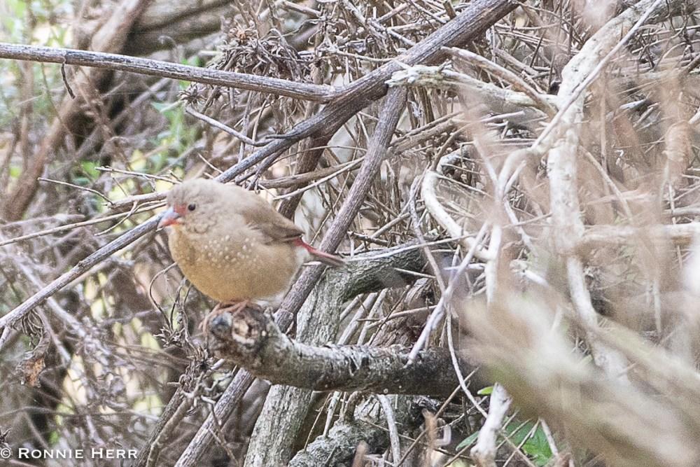 Red-billed Firefinch (Ronnie Herr)