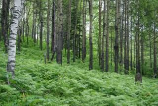 Ferns and birches, classic Siberia.