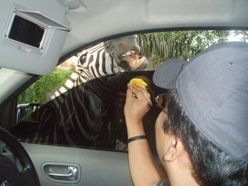feeding-zevra-safari-june-2009