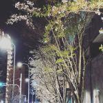 もうだいぶ、葉桜ですね。