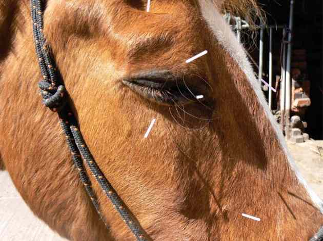 "alt=""acupuncture for horses"""