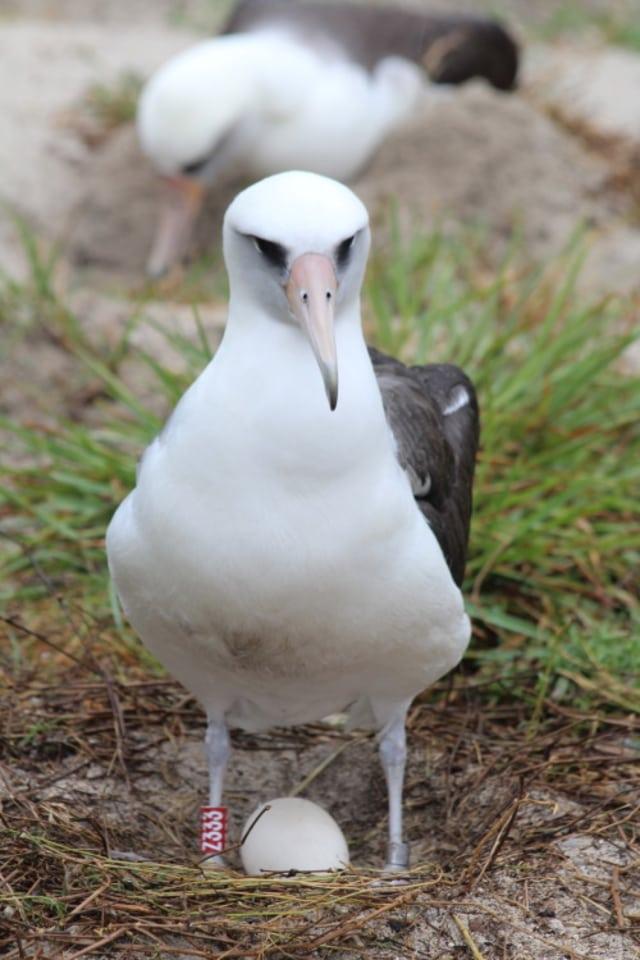 Burung Albatros : burung, albatros, Wisdom,, Burung, Tertua, Dunia,, Bakal, (Lagi), Kumparan.com