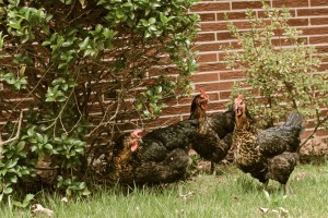 Backyard hens and chickens