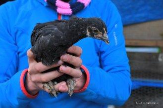 Black Copper Maran (I hope) Chick