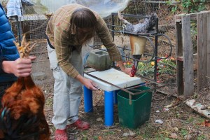 Backyard rooster butchered for eating 010