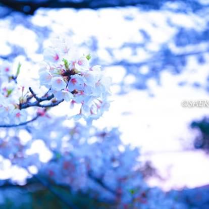 桜満開の「大井水神公園」