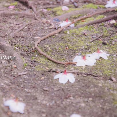 桜満開の大森の街並み