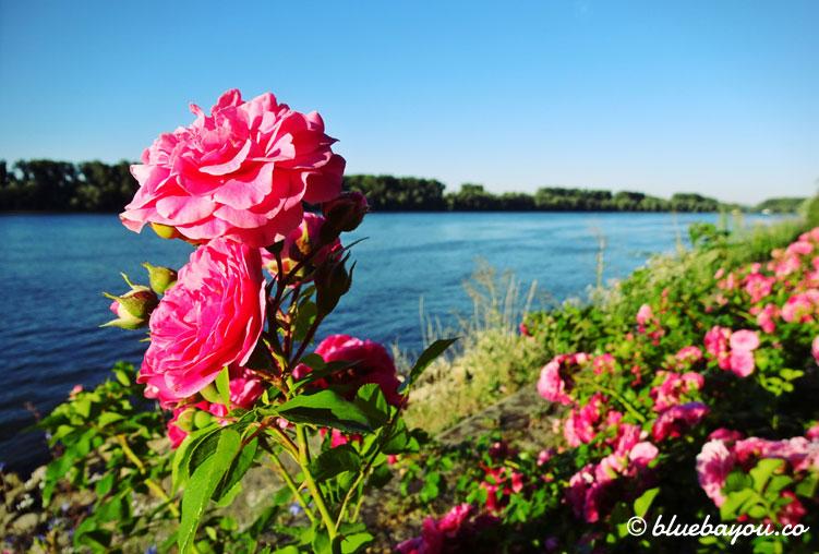 Pinke Rosen am Rheinufer entlang der Strecke von Wiesbaden nach Rüdesheim.