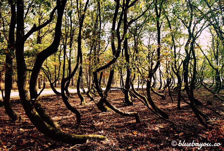 Fotoparade Krasse Sache: Der krumme Wald im holländischen Nationalpark De Hoge Veluwe.