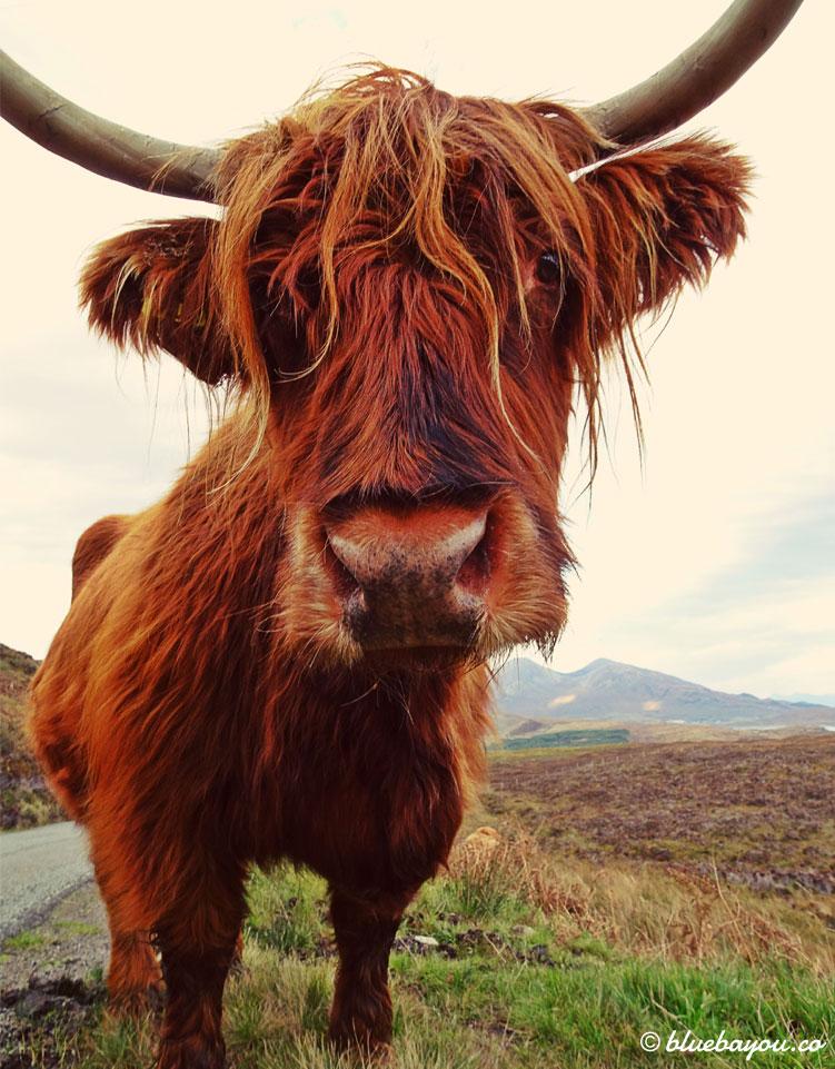 Fotoparade Schönstes Bild: Dieses Highland Cattle war äußerst lieb und interessiert.