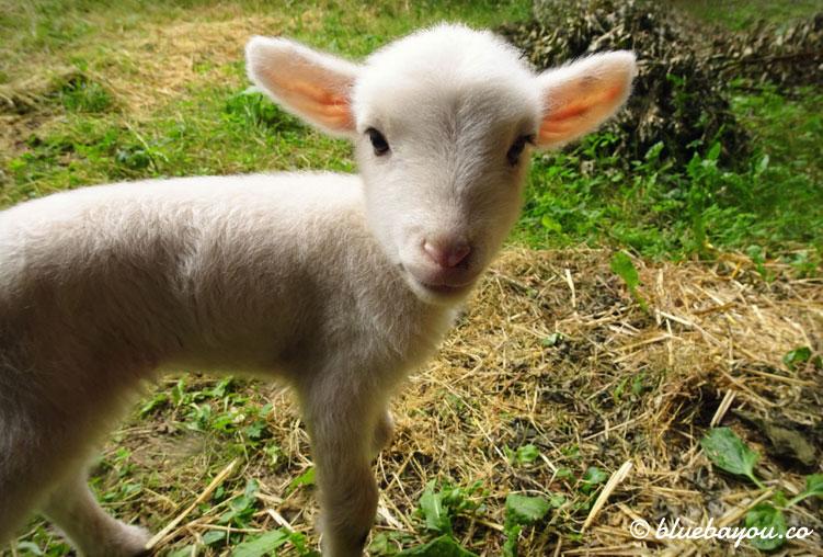 Fotoparade Tiere: Das kleine Lamm Cupcake, das Haare statt Wolle und abstehende Ohren hatte - leider verstarb es nach wenigen Wochen.