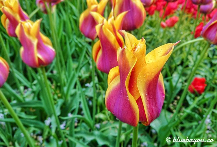 Flammende Tulpen im Keukenhof.