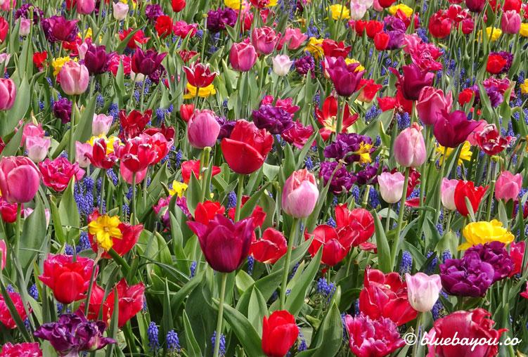 Bunte Tulpenfelder begeistern die Besucher des Keukenhofs.