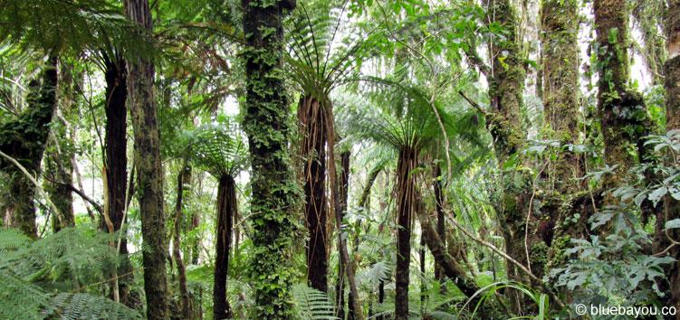 Regenwald in Neuseeland: Eindrucksvoll, aber auch schon bekannt.