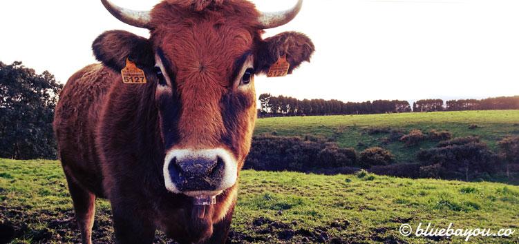 Rinder sieht man entlang des Jakobswegs in Spanien sehr viele.