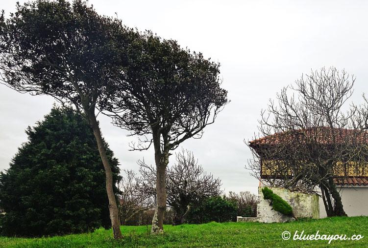 Ein schiefer Baum auf dem Jakobsweg.