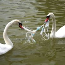 both swans died